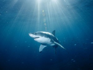 great-white-shark_559_600x450.jpg